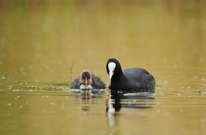 coots 2 by thisable