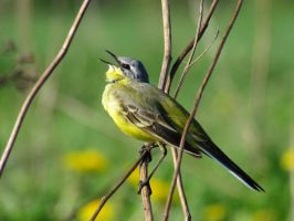 Male of the Yellow wagtail2 by melodi996