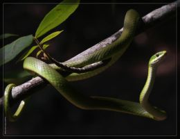 Rough Green Snake 40D0019665 by Cristian-M