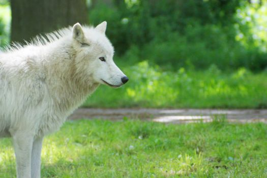 White Wolf of Denmark by tomorgel
