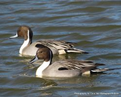 Dual Pintails by vanwaglajam
