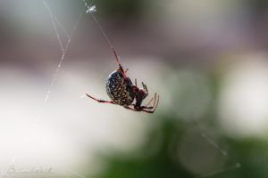 Western Spotted Orb Weaver by polygonbronson