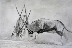 Gemsbok fighting by birdaves