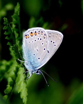 Common Blue by Mustelanivalis