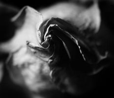 Rose 2 by AndySimmons