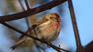 Common redpoll by Glacierman54