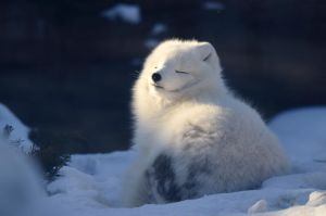 Snow Fox 2 -Winter's Warmth by DarkBeforeDawn23
