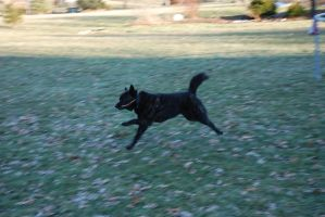 Black Dog Running Stock 2 by lee-mare