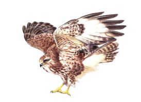 Buzzard - realistic drawing by Katchina-Q2
