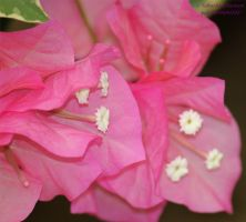 Bougainvillea by panda69680102