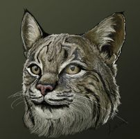 Bobcat Portrait by Sasust