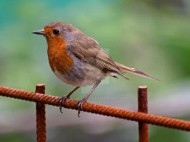 Robin I by MDGallery