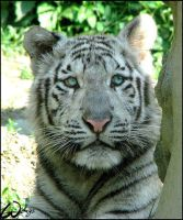 White tiger cub: angel look by woxys