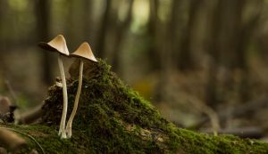 Mushroom Pair in the Forest by Danimatie