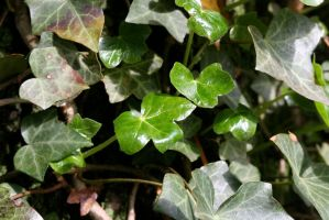 Ivy by ChrisTheJeweler