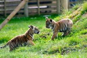 Tiger cubs by McProbius