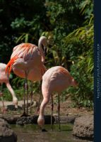 Flamingo 03 by kuschelirmel-stock