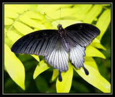 butterfly 8 by RichardRobert