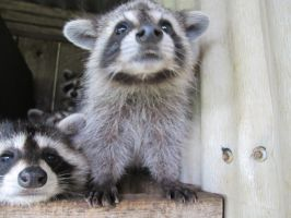 Young Raccoons 37 by Windthin