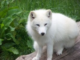 Arctic Fox 1 by LidiaL