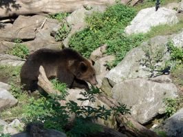 Brown Bear by IronMantis