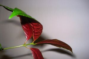 red and green leaves by Polin-Sam