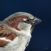 Sparrow-Closer by JestePhotography