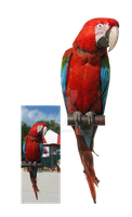 Parrot PNG by Lubov2001
