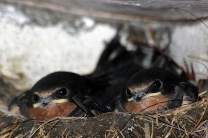 Baby Swallows by Yoonett