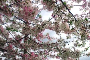 Cherry blossoms by EruwaedhielElleth