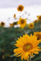 Stacked Sunflowers by TheBreadmaster