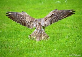 Saker Falcon 1 by MT-Photografien