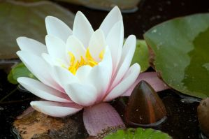 Star of the Pond by taffmeister