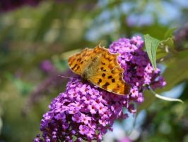 Comma Butterfly by piratepigeon