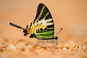 Five Bar Swordtail by inckurei
