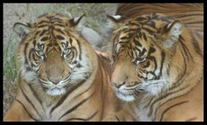 Tigers by klkessler714