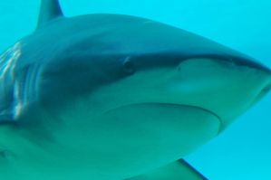 Close up front side shark by Chunga-Stock