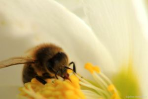 The bee and the Helleborus by jochniew