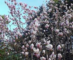 Magnificent Magnolia by Dotsmom