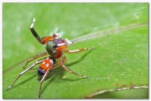 Kungfu Spider by melvynyeo