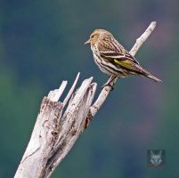 Pine Siskin On Twig by wolfwings1