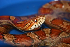 Corn snake stock by AngiWallace