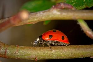 Ladybird on a branch by cathy001