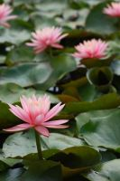 water lillies by O-Gosh