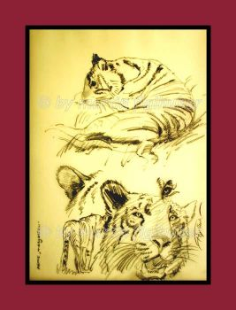 studies of tigers 01 by figlhuber