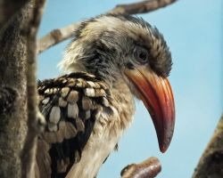 Profile of a Hornbill by Canislupuscorax