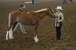 Welsh Cross Mare Chestnut Flaxen Halter by HorseStockPhotos