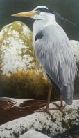 grey heron..coloured pencil by alanwoollett