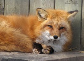 Red Fox 530 by caybeach