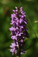 orchis 2 by marob0501